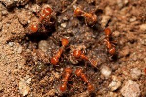 IStock- red ants web