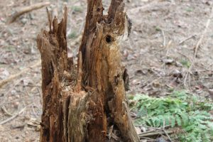 tree-stump-rotted-58dabaa1d170a