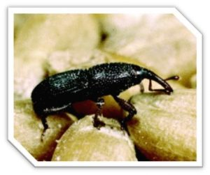 pantry weevil found in grain product