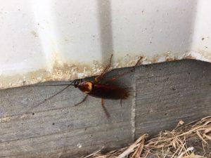 Roach Large